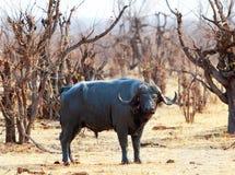 Grande búfalo do cabo que está no bushveld em Hwange fotos de stock