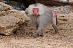 Grande babbuino maschio di hamadryas che cammina nello zoo Fotografia Stock