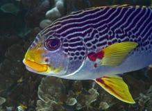 Grande bacalhau do favo de mel do recife de barreira Imagem de Stock Royalty Free