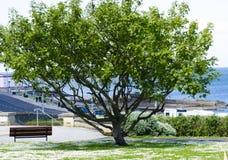 A grande baixa árvore domina um canto do parque dos condados fotos de stock