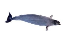 Grande baleia branca isolada Foto de Stock Royalty Free