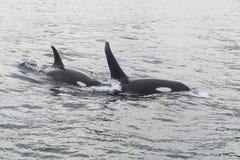 Grande baleia de assassino dois Imagens de Stock