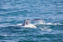 Grande baleine de bosse plongeant et montrant sa queue près du husavik photos libres de droits