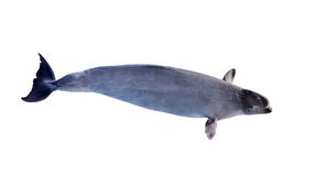 Grande balena bianca isolata Fotografia Stock Libera da Diritti