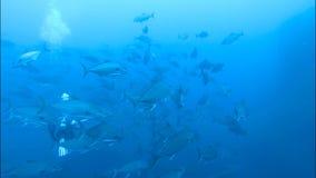 Grande banco del pesce subacqueo archivi video
