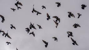 Grande bande d'oiseaux banque de vidéos