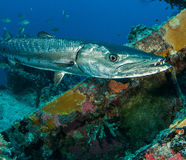 Grande barracuda, barracuda do Sphyraena, na destruição do bosque de Spiegel imagens de stock