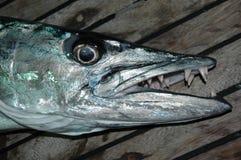 Grande barracuda com dentes afiados Fotografia de Stock