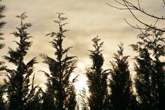 Grande barriera del cipresso ad alba con il cielo Fotografia Stock Libera da Diritti