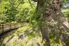 Grande base dell'albero di canfora Fotografia Stock Libera da Diritti