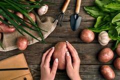 Grande batata nas mãos fêmeas, na vista superior em um fundo de madeira com ferramentas de jardim, nos verdes, nas cebolas, no al Foto de Stock Royalty Free