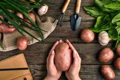 Grande batata nas mãos fêmeas, na vista superior em um fundo de madeira com ferramentas de jardim, nos verdes, nas cebolas, no al Fotos de Stock Royalty Free