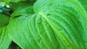 Grande bella hosta delle foglie verdi con le gocce di pioggia Video del primo piano archivi video