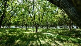Grande bella luce solare fra una piantagione dell'albero da frutto Fotografia Stock