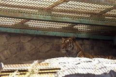 Grande bella tigre adulta che si trova in una grande gabbia Fotografia Stock