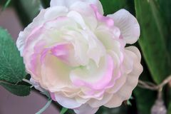 Grande belle pivoine blanche Photographie stock