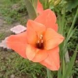 Grande bello fiore rosa di gladiolo Fotografia Stock Libera da Diritti