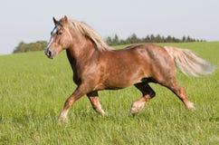Grande bello funzionamento del cavallo Fotografie Stock