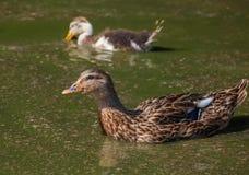 Grande bello nuoto dell'anatra due in uno stagno sull'azienda agricola Fotografia Stock Libera da Diritti