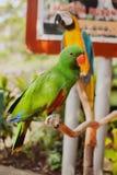 Grande bello pappagallo variopinto Fotografia Stock Libera da Diritti