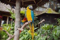 Grande bello pappagallo variopinto Immagine Stock Libera da Diritti