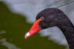 Grande bello ritratto del cigno nero dell'uccello acquatico immagini stock libere da diritti