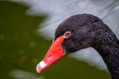 Grande bello ritratto del cigno nero dell'uccello acquatico immagine stock libera da diritti