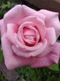 Grande bello rosa Rosa fotografia stock