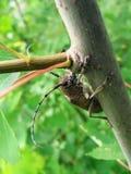 Grande besouro na árvore Fotografia de Stock Royalty Free