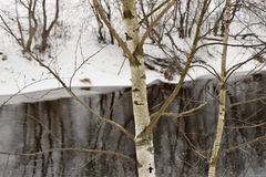 Grande betulla bianca sull'alta Banca del fiume Fotografie Stock
