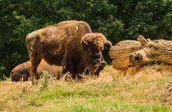 Grande bisonte americano - bisonte del bisonte immagini stock libere da diritti