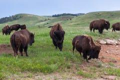 Grande bisonte de Bull no rebanho imagens de stock royalty free