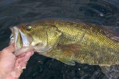 Grande boca Bass Lipped By Angler Fishing imagens de stock