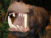 Grande bocca Hippopotumus   Fotografia Stock Libera da Diritti