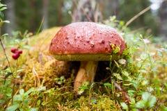 Grande bolete do pinho no musgo verde Imagem de Stock
