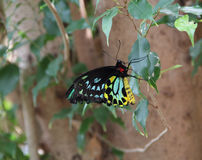 Grande borboleta australiana fotos de stock royalty free