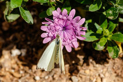 Grande borboleta branca do sul na flor roxa Fotos de Stock