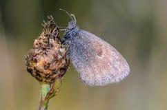 A grande borboleta com asas marrons senta-se em um botão da flor seca Foto de Stock Royalty Free