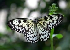Grande borboleta da ninfa da árvore Foto de Stock Royalty Free