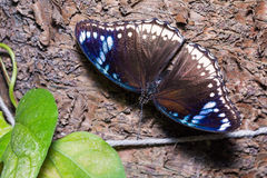 Grande borboleta de Eggfly fotos de stock royalty free