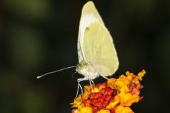 Grande borboleta do branco de couve Fotos de Stock Royalty Free