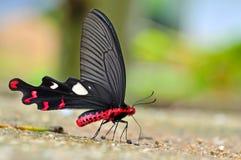 Grande borboleta do moinho de vento Fotografia de Stock Royalty Free