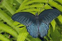 Grande borboleta do Mormon em Ferns Foto de Stock