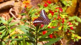 Grande borboleta em um arbusto vídeos de arquivo
