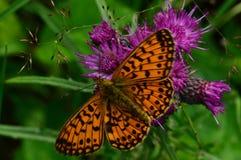 Grande borboleta em uma flor roxa do cardo Imagem de Stock