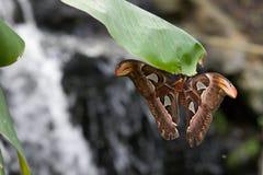 Grande borboleta em uma folha Imagem de Stock Royalty Free