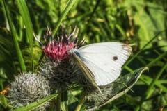 Grande borboleta europeia fêmea do branco de couve imagem de stock royalty free