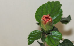 Grande botão alaranjado vistoso do hibiscus Imagem de Stock Royalty Free