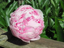 Grande botão cor-de-rosa macio da peônia em uma cerca de madeira Imagens de Stock Royalty Free