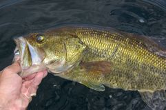 Grande bouche Bass Lipped By Angler Fishing images stock